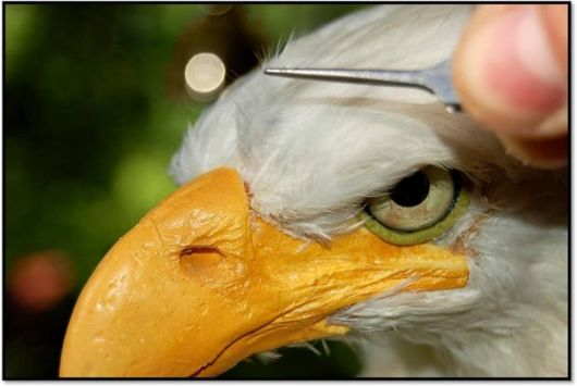 Bald Eagle by Just Clever Artist