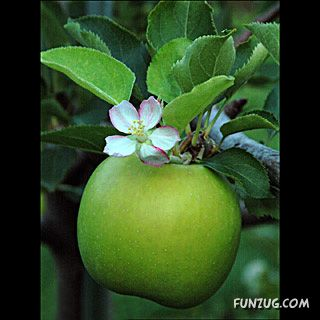 Have You Ever Seen Apple Trees ?