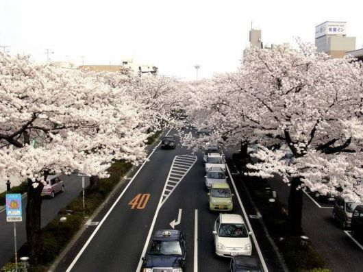 Sakura Blossoms in Japan