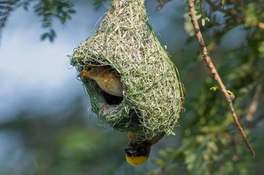 The Weaver Birds At Work
