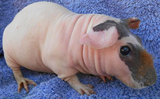 These 15 Animals Without Hair Are Barely Recognizable