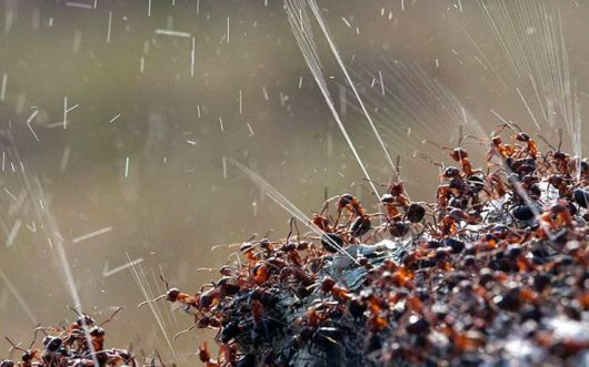 Ants Spray Acid to Defend Themselves