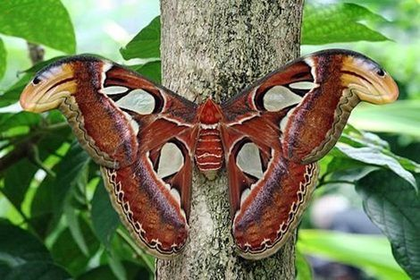 Biggest Butterfly in The World