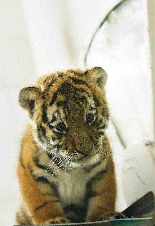 Cute Tiger Cub Antares in Berlin Zoo