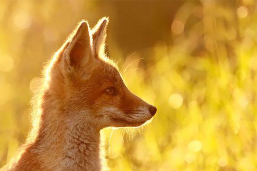 Stunning Wild Fox Photography By Roeselien Raimond